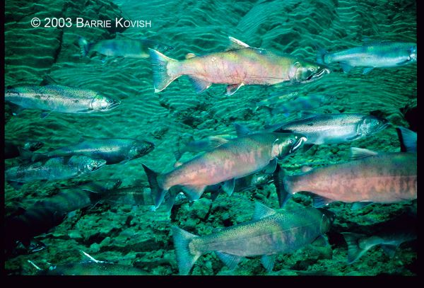 Pacific salmon swimming